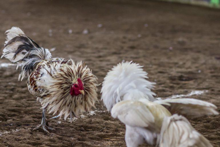Kenapa Bermain Sabung Ayam Di Agen S128