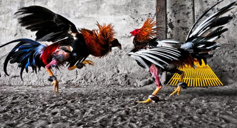 Faktor Penting Sebelum Berjudi Sabung Ayam